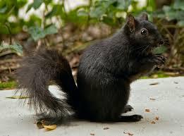 black squirel
